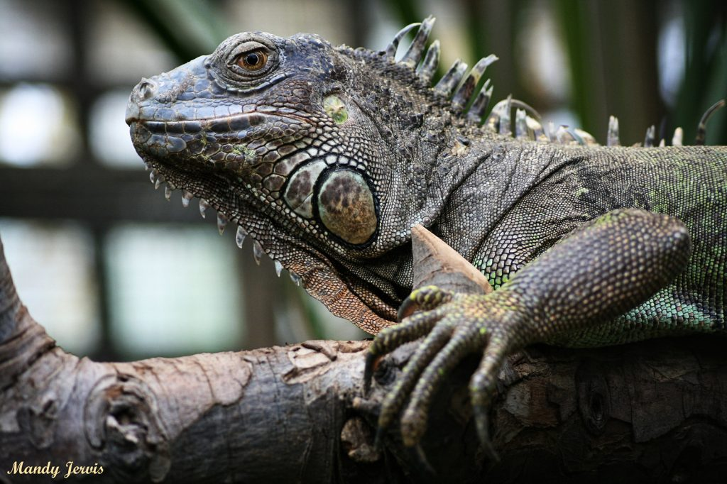 Mandy Jervis - Photography - Reptile l