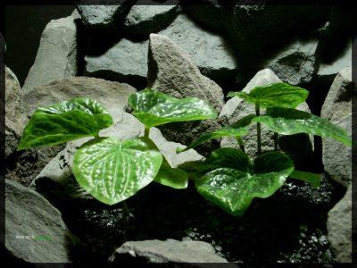 Artificial Peperomia Plants - Artificial Silk Reptile Habitat Plants - PLOT srp348 2